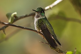 White-bellied Mountain-gem - La Paz - Costa Rica MG 2212 (26417364120).jpg
