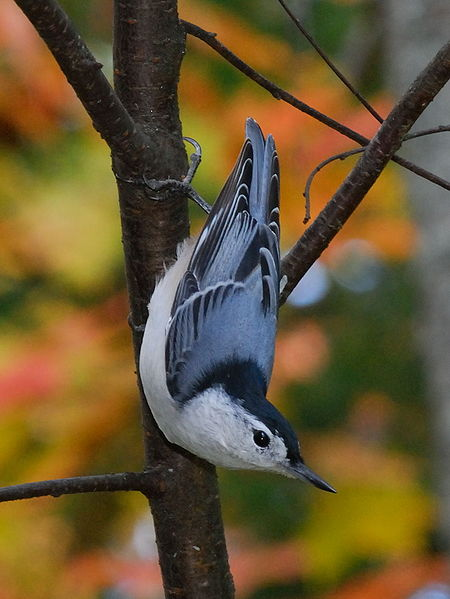 File:White-breasted Nuthatch (Sitta carolinensis)3 -on branch.jpg