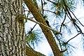 White-headed woodpecker (48113914153).jpg