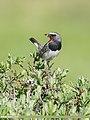White-tailed Rubythroat (Luscinia pectoralis) (51125886977).jpg