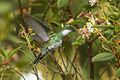 White-throated Hummingbird - REGUA - Brazil S4E1820 (12930595054).jpg