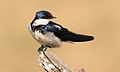 White-throated Swallow, Hirundo albigularis, at Pilanesberg National Park, Northwest Province, South Africa (29249787823).jpg
