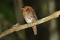 White-whiskered Puffbird.jpg