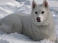 White Siberian Husky snow 1.jpg