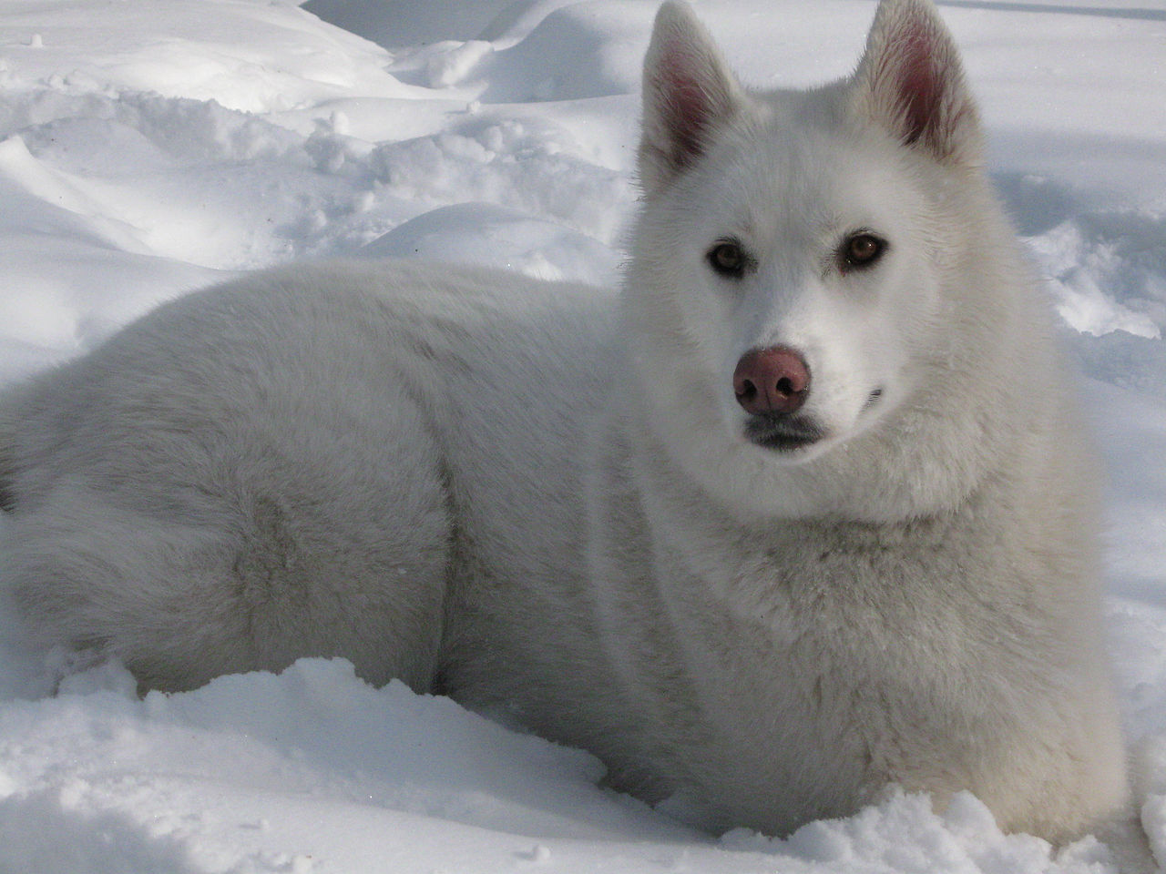 Image Result For Siberian Husky Malamute