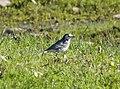 White Wagtail (Motacilla alba alba) - Flickr - gailhampshire.jpg