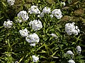White flowers in the Walled Garden of Goodnestone Park Kent England.jpg