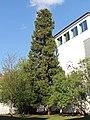 """Wien-Hietzing - Naturdenkmal 106 - Kalifornische Flußzeder (""""Calocedrus decurrens"""").jpg"""