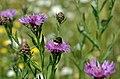 Wiesenflockenblume DSC 1561.jpg