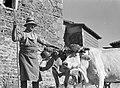 Wijnboer met twee koeien, Bestanddeelnr 191-0306.jpg