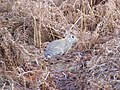 Wild Rabbit on Martlesham Heath - geograph.org.uk - 1132667.jpg