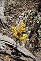 Wild flower (8412793022).jpg
