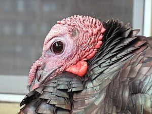 Male wild turkey in Brookline, Massachusetts, ...