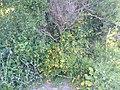 Wildmimuluswildcatcanyon2019.jpg