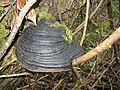 Willow Fomes, a bracket fungus. - geograph.org.uk - 274606.jpg