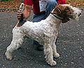 Wire Fox Terrier standing.jpg
