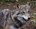Wolf je1-3.jpg