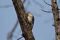 Woodpecker 3904.jpg