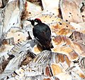 Woodpecker in Palm 6-15-13a (9120002070).jpg