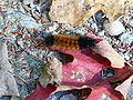 Woolly bear caterpillar on maple leaf.jpg