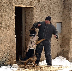 Dogs in warfare - Military working dog wearing body armor, undergoing escalation of force training in Afghanistan.
