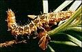 Wsprucebudworm.jpg