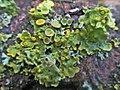 Xanthoria parietina (Teloschistaceae), Arnhem, the Netherlands.jpg