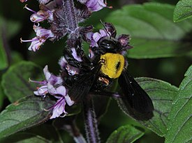 Xylocopa pubescens female with mites 1.JPG