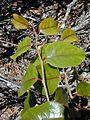 Xylosma hawaiiense1.jpg