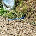 Yellow-billed blue magpie-3 Kandbari, Himachal Pradesh by Avyakta.jpg