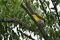Yellow-breasted Chat (34061285183).jpg