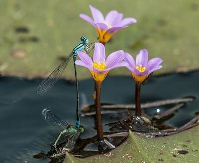 Odonata reproducing, from Kerala, India