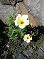 Yellow Ground Flower.jpg