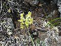 Yellow Oxytropis (Oxytropis campestris) - Flickr - brewbooks.jpg