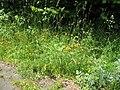 Yellow flowers - panoramio (2).jpg