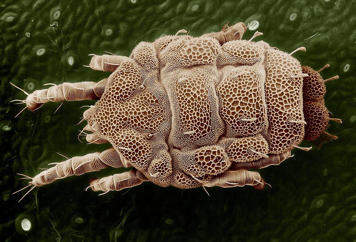 Lorryia formosa - Wikipedia