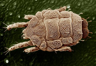 Acariformes - Lorryia formosa (Trombidiformes: Tydeidae)