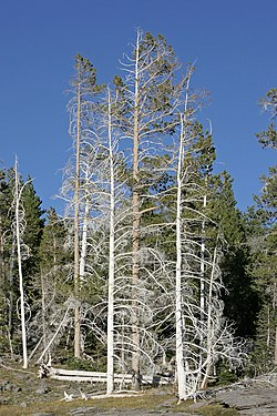Yellowstone Trees.jpg