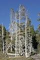 Yellowstone Trees.jpg