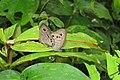 Ypthima baldus - Common Five-ring mating pair 2014 (1).jpg