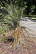 Yucca baileyi in Christchurch Botanic Gardens 02.jpg