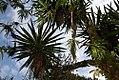 Yucca elephantipes 20zz.jpg