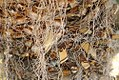 Yucca faxoniana 0zz.jpg