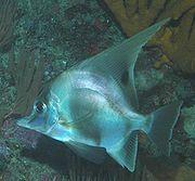 Zaclistius elevatus (Longfin boarfish)