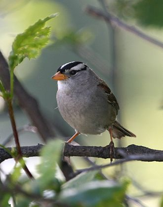 White-crowned sparrow - Image: Zonotrichia leucophrys 1