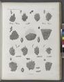 Zoologie. Polypes. Flustres (NYPL b14212718-1268625).tiff