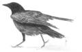 Zwarte kraai Corvus corone Jos Zwarts 1.tif