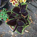'Giant Exhibition Magma' coleus IMG 0885.jpg
