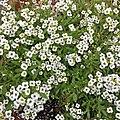 'Giga White' alyssum IMG 3200.jpg