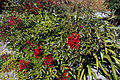'Nandina domestica' ground cover cultivar at Capel Manor Gardens Enfield London England.jpg